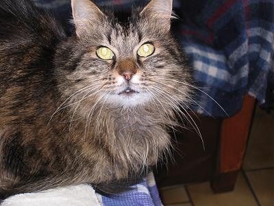 Chatte style Maine Coon-img_0004.jpg