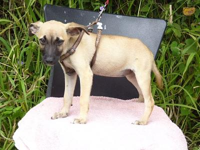 A ADOPTER PINKY CHIOT FEMELLE 3 MOIS 2,3KG-pinky3.jpg