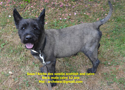 A adopter ROCK mâle cairn terrier-rock.png