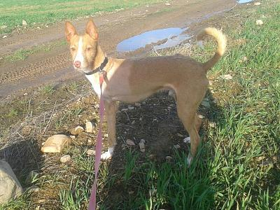 Adoption et dons pour Cody adorable petit podenco tripatte en pension (La Rioja,ESP)-2018-02-26-photo-00000382.jpg
