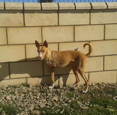 Adoption et dons pour Cody adorable petit podenco tripatte en pension (La Rioja,ESP)-2018-02-26-photo-00000383.jpg