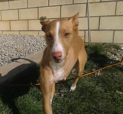 Adoption et dons pour Cody adorable petit podenco tripatte en pension (La Rioja,ESP)-2018-02-26-photo-00000384.jpg
