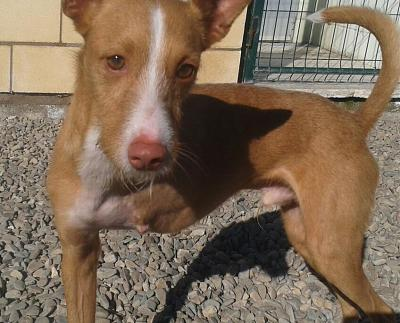 Adoption et dons pour Cody adorable petit podenco tripatte en pension (La Rioja,ESP)-2018-02-26-photo-00000385.jpg