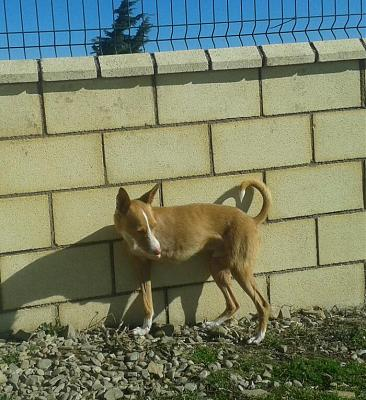 Adoption et dons pour Cody adorable petit podenco tripatte en pension (La Rioja,ESP)-2018-02-26-photo-00000387.jpg