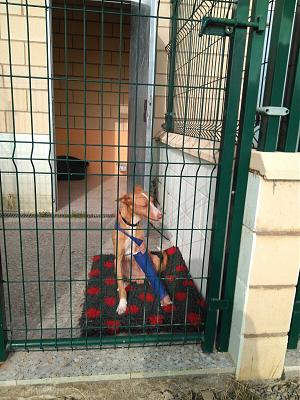 Adoption et dons pour Cody adorable petit podenco tripatte en pension (La Rioja,ESP)-image1.jpg