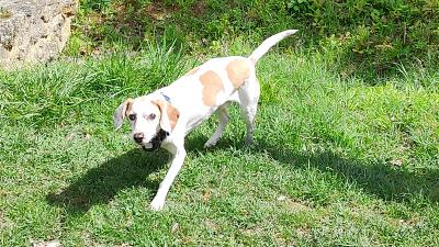 Buzz, tendre croisé beagle blanc/orange, Val de Marne-whatsapp-image-2019-08-11-at-20.50.06.jpeg