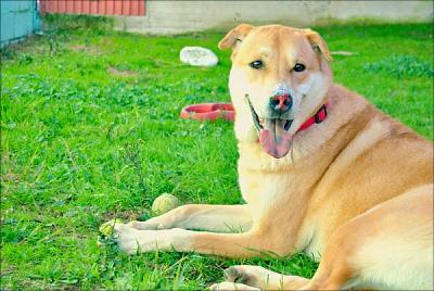 Duque adorable loulou 6 ans attend au refuge (Madrid, Espagne)-a_11991482942706.jpg