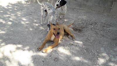 Flaka adorable louloute sociable 1 an 25kgs attend au refuge (Jaen, Espagne)-flaka.jpg