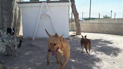 Flaka adorable louloute sociable 1 an 25kgs attend au refuge (Jaen, Espagne)-flaka1.jpg