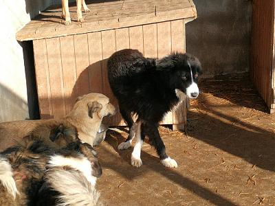 GERONIMO - MALE BORDER COLLIE DE 3 ANS - REFUGE ALINA-26992637_2057776447793122_1238738868588151635_n.jpg