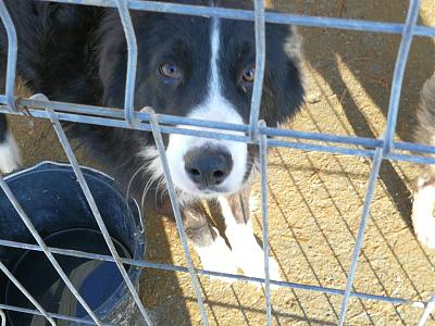 GERONIMO - MALE BORDER COLLIE DE 3 ANS - REFUGE ALINA-27067898_2057776504459783_6244228811756347118_n.jpg