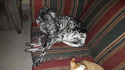 Gris adorable louloute galgo/dalmatien 8 ans attend sa famille Grenade, Espagne)-1-9-.jpg