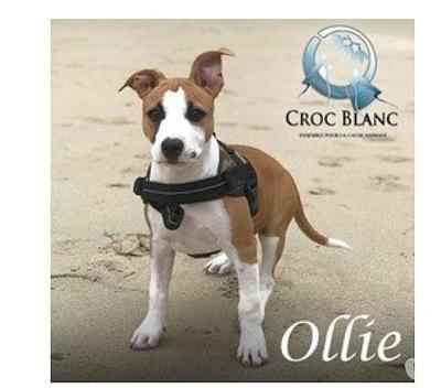 OLLIE - Adorable chiot femelle staff !-1.jpg