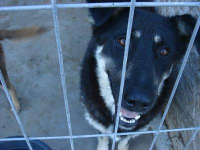 SHATEEN - CHIENNE CROISEE BEAUCERON DE 4 ANS - REFUGE ALINA-21765048_2002356826668418_3354951156255327285_n.jpg
