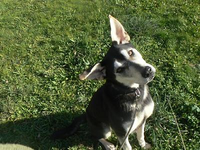Twister - x husky (f) 1 an Compatible : Chiens mâles, Chiens femelles (38)ADOPTEE Twister-croisee-husky-femelle-p1170970
