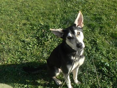 Twister - x husky (f) 1 an Compatible : Chiens mâles, Chiens femelles (38)ADOPTEE Twister-croisee-husky-femelle-p1170972