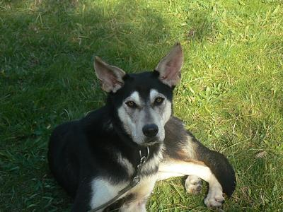 Twister - x husky (f) 1 an Compatible : Chiens mâles, Chiens femelles (38)ADOPTEE Twister-croisee-husky-femelle-p1180018
