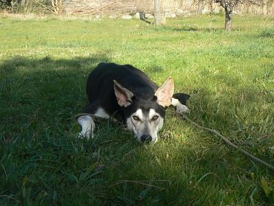 Twister - x husky (f) 1 an Compatible : Chiens mâles, Chiens femelles (38)ADOPTEE Twister-croisee-husky-femelle-p1180023