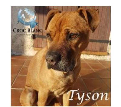TYSON - Adorable american staff !-1.jpg