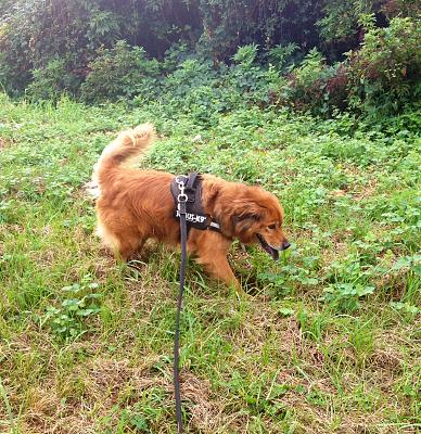 MELLY, x chow-chow de 7 ans (f), pas ok chats ni femelles REFU64 - Page 2 Urgence-5-ans-refuge-melly-superbe-chienne-x-chow-chow-photo-1