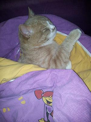 chat roux male ou femelle adulte-20121123.jpg