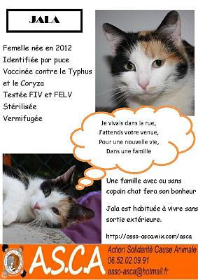 Chat siamois a adopter