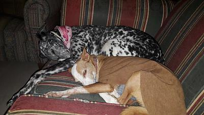 Gris adorable louloute galgo/dalmatien 8 ans attend sa famille Grenade, Espagne)-1-11-.jpg