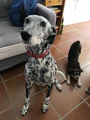 Gris adorable louloute galgo/dalmatien 8 ans attend sa famille Grenade, Espagne)-38478695_1835281549897936_1893786758823280640_n.jpg
