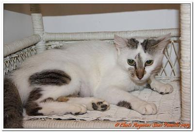 Marly chat femelle adulte européen bicolore majoritairement blanc CASF (49)-marly-20150706.jpg