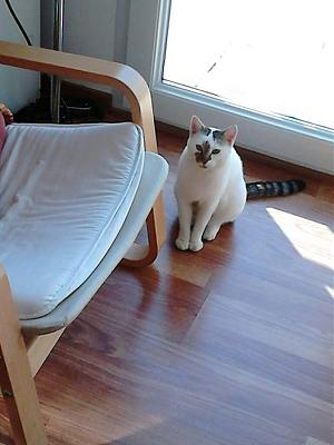 Marly chat femelle adulte européen bicolore majoritairement blanc CASF (49)-marly-20151005.jpg