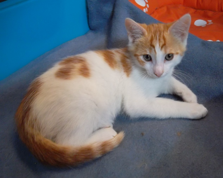Chat roux et blanc a adoptera
