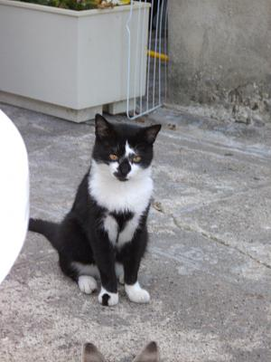 Chat persan a adopter