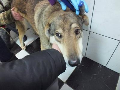 YELLOW - CROISE CHIEN LOUP - 8 ANS - SOS !!! - REFUGE ALINA-11016086_1593299644240807_4319863182012969670_n.jpg
