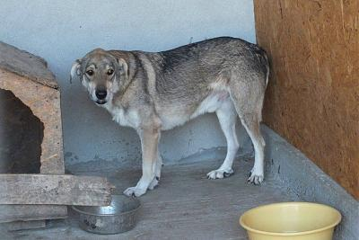 YELLOW - CROISE CHIEN LOUP - 8 ANS - SOS !!! - REFUGE ALINA-11928730_1672229949681109_3747068588296295644_n.jpg