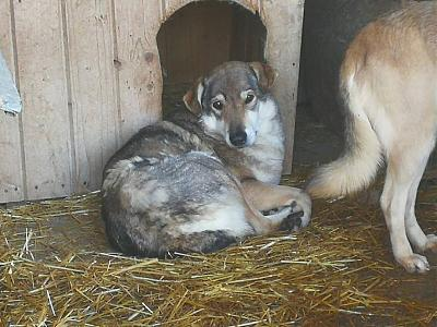 YELLOW - CROISE CHIEN LOUP - 8 ANS - SOS !!! - REFUGE ALINA-26111981_1176519669145410_3688728035475651205_n.jpg