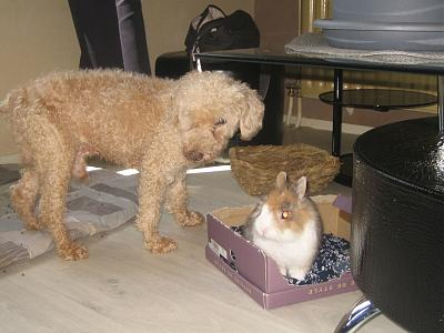 Adopter un lapin quand on a chiens et chats?-36_30-10.jpg
