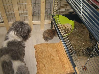 Adopter un lapin quand on a chiens et chats?-49-21-09-2013.jpg