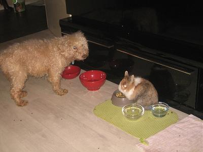 Adopter un lapin quand on a chiens et chats?-ringo_11.jpg