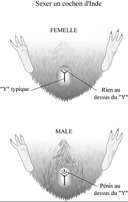 sexage bébé cochon d'inde-private-category-sexage-img.png