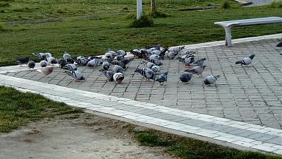 le topic des pigeons-pigeons-and-.jpg