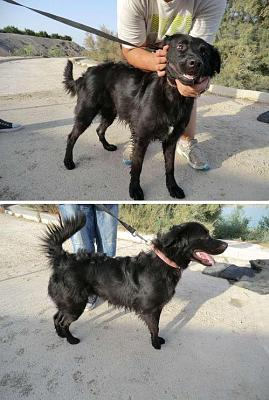 Bertha - Toulya croisée Flat Coated Retriever - F - Es - en FA ds le 75-bertha2.jpg