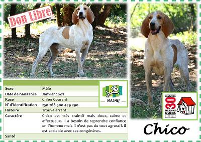 CHICO X CHIEN COURANT à l'adoption-chico1.jpg