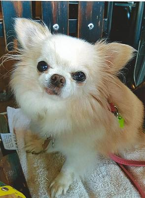 perdue Vanille chihuahua 13 ans 75016-vanille-photo.jpg